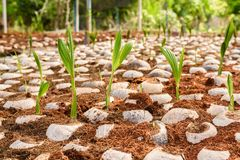 Le jeune parfum de noix de coco dans l'élevage de noix de coco cultive dans la conversion Photographie stock libre de droits