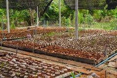 Le jeune parfum de noix de coco dans l'élevage de noix de coco cultive dans la conversion Photo libre de droits