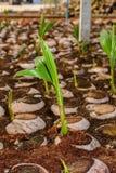 Le jeune parfum de noix de coco dans l'élevage de noix de coco cultive dans la conversion Photos libres de droits