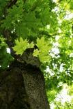 Le jeune part et le corps d'arbre d'un arbre plat le jour d'été de ressort avec des branches de feuilles de vert de tache floue e image stock