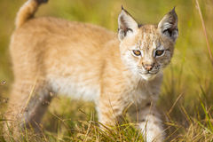 Le jeune petit animal mignon de lynx joue dans le pré Images stock