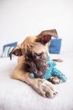 Le jeune petit chien doux se trouve sur le lit à la maison et mordant un jouet Images stock