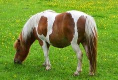 Le jeune poney ou poulain frôlant dans des agriculteurs mettent en place un jour d'étés Photo stock