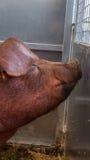 Le jeune porc sur le foin et la paille au porc montrent Photographie stock libre de droits