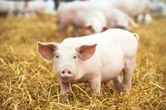 Le jeune porcelet sur le foin et la paille à l'élevage de porc cultivent Images stock