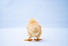 Le jeune poussin gonflé reculant a tiré Photo libre de droits