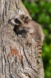 Le jeune raton laveur (lotor de Procyon) s'accroche à l'arbre Photos stock