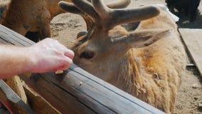 Le jeune renne est alimenté des mains Les animaux regardent par derrière une barrière en bois à alimenter banque de vidéos
