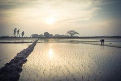 Le jeune riz pousse prêt à dans le terrain de riz à Hanoï, Photo stock