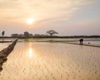 Le jeune riz pousse prêt à dans le terrain de riz à Hanoï, Images libres de droits