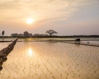 Le jeune riz pousse prêt à dans le terrain de riz à Hanoï, Photo libre de droits
