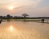 Le jeune riz pousse prêt à dans le terrain de riz à Hanoï, Photos stock