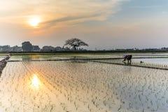 Le jeune riz pousse prêt à dans le terrain de riz à Hanoï, Photographie stock libre de droits
