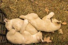 Le jeune sommeil pelucheux de petits animaux de lion s'est blotti ensemble sur l'herbe en Th Photographie stock libre de droits
