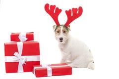 Le jeune terrier de Jack Russell de chien avec des klaxons de cerfs communs sur le sien a eu sur le fond blanc Images libres de droits