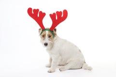 Le jeune terrier de Jack Russell de chien avec des klaxons de cerfs communs sur le sien a eu sur le fond blanc Photos stock
