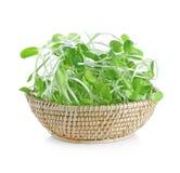 Le jeune tournesol vert pousse dans le panier d'isolement sur le Ba blanc Photographie stock libre de droits