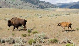 Le jeune veau de Buffalo suit le bison de mâle de Taureau Images libres de droits
