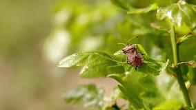 Le jeune vert de chêne part du matin de plan rapproché au printemps Profondeur de zone Insectes sur des feuilles banque de vidéos