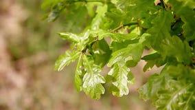Le jeune vert de chêne part du matin de plan rapproché au printemps Profondeur de zone Insectes sur des feuilles clips vidéos