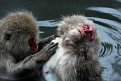le jigokudani du Japon monkeys Nagano près de la neige Photos libres de droits