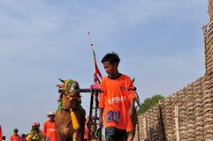 Le jockey mène des taureaux dans la course de Madura Taureau, Indonésie Photographie stock libre de droits