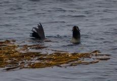 Le joint de fourrure regardent près des algues Image stock