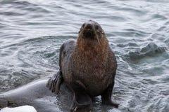 Le joint de fourrure se reposant sur les roches a lavé par l'océan, Antarctique Image stock