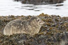 Le joint de port ce se repose sur les roches à marée basse au printemps Photos stock