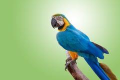Le joli perroquet sur la branche photo libre de droits