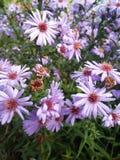 Le jour ensoleillé dans le pourpre de Kyustendil Bulgarie fleurit Nice la vue Image libre de droits