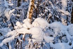 Le jour ensoleillé dans une neige de forêt d'hiver a couvert des arbres images stock