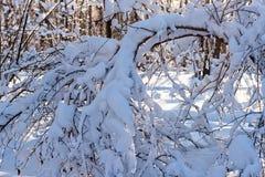 Le jour ensoleillé dans une neige de forêt d'hiver a couvert des arbres photographie stock