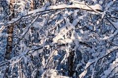 Le jour ensoleillé dans une neige de forêt d'hiver a couvert des arbres photos stock