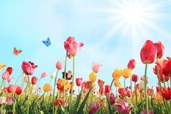 Le jour ensoleillé lumineux peut dedans avec le champ de tulipe Images stock