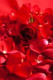 Le jour rouge de Valentine de pétales de roses Photos stock