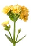 Le kalanchoe jaune fleurit la macro fleur Photo libre de droits