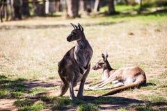 Le kangourou est des animaux représentent l'Australie sauvage Image libre de droits