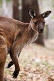 Le kangourou gris occidental (fuliginosus de Macropus) Photographie stock