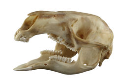 Le kangourou a ouvert le crâne exotique de bouche sur un fond blanc Images libres de droits