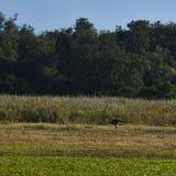 Le kangourou sautant sur le champ de l'herbe photographie stock libre de droits