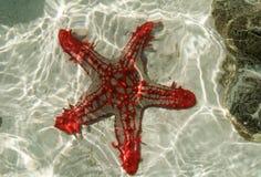 Le Kenya, Mombasa, étoile de mer complètement de couleur dans l'océan photo libre de droits