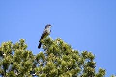 Le Kingbird de Cassin, vociferans de Tyrannus Photo libre de droits