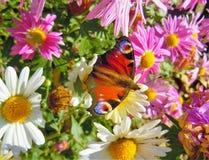 Le Kinglet dans les chrusantemums font du jardinage, midi ensoleillé images libres de droits