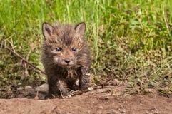 Le kit de Fox rouge (vulpes de Vulpes) rampe en avant hors du repaire Photos stock