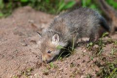Le kit de Fox rouge (vulpes de Vulpes) renifle la terre en dehors du repaire Image libre de droits