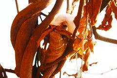 Le kiwi sec laisse l'arbre avec la neige photographie stock