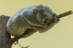 Le koala étonnant dort sur l'arbre Images libres de droits