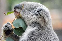 Le koala aime l'eucalyptus Photo stock
