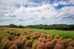 Le Kochia met en place avec le beau ciel dans Ibaraki, Japon Image stock
